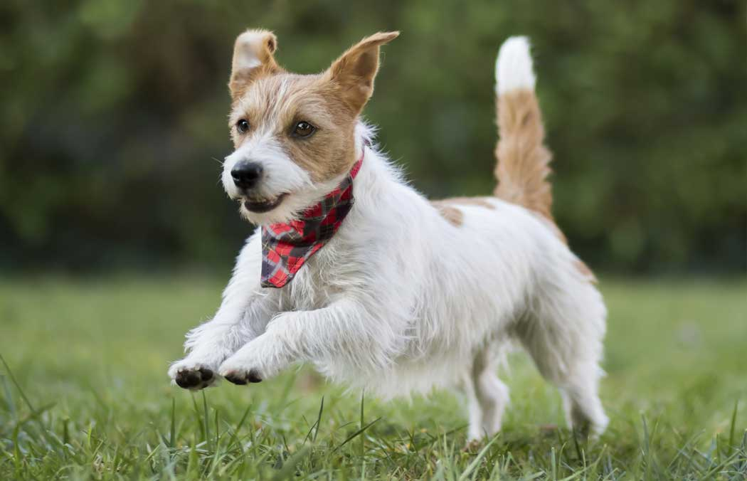 Jack Russell Terrier running in the grass