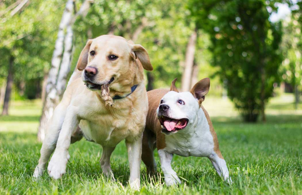 Two dogs playing with a toy in the grass