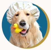 Golden Retriever wearing a shower cap with a rubber ducky in his mouth