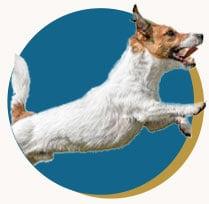 Terrier jumping through the air