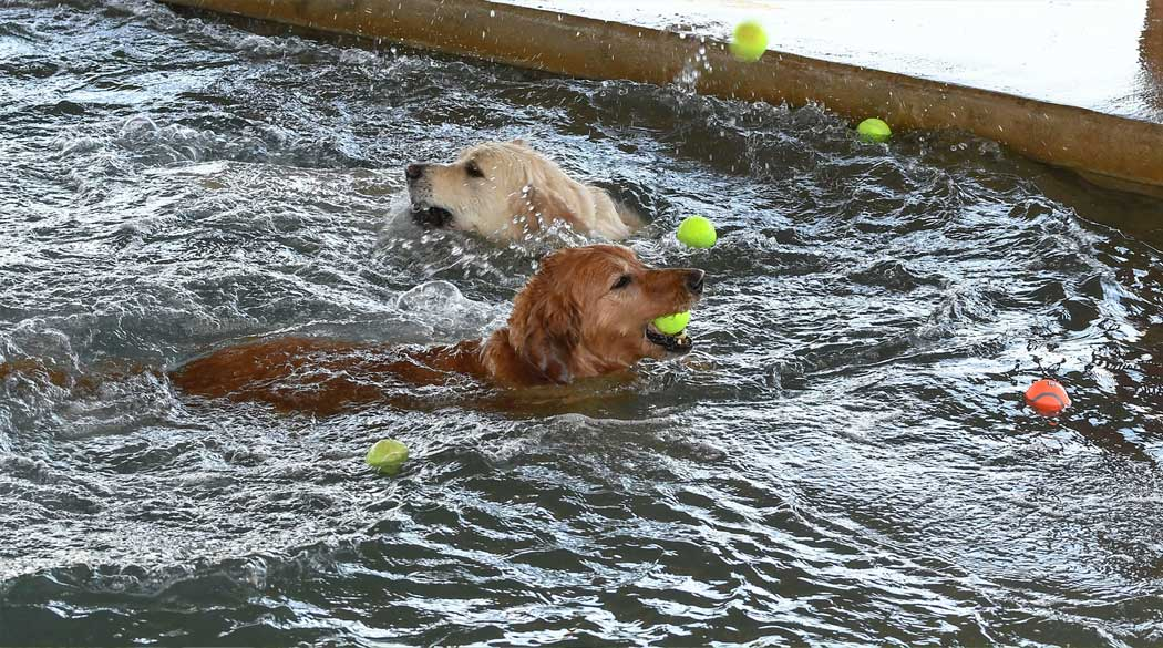 Two dogs swimming in the pool with toys
