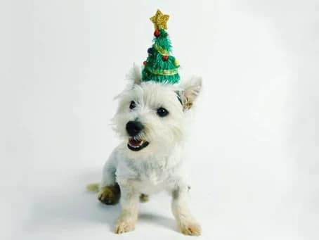 terrier wearing a Christmas tree hat